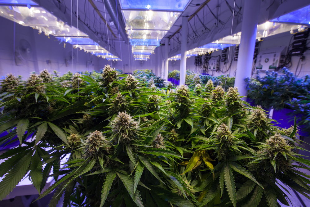 Cannabis Cultivation and Renewable Energy