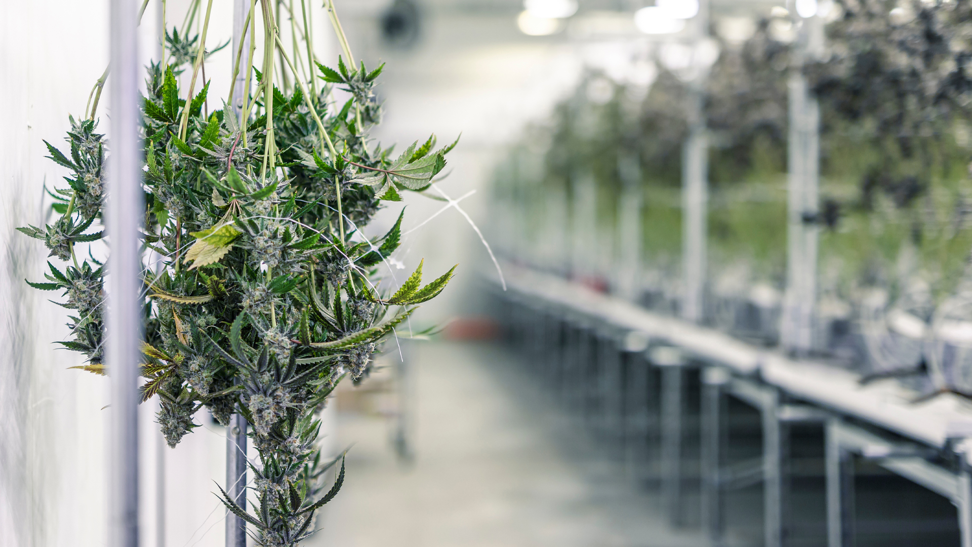 Commercial Cannabis Cultivation: Licences for Cultivating Cannabis in Canada